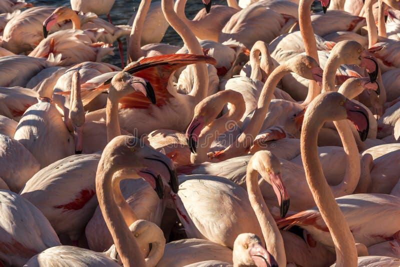 Flamingo's, Camargue, Frankrijk stock fotografie