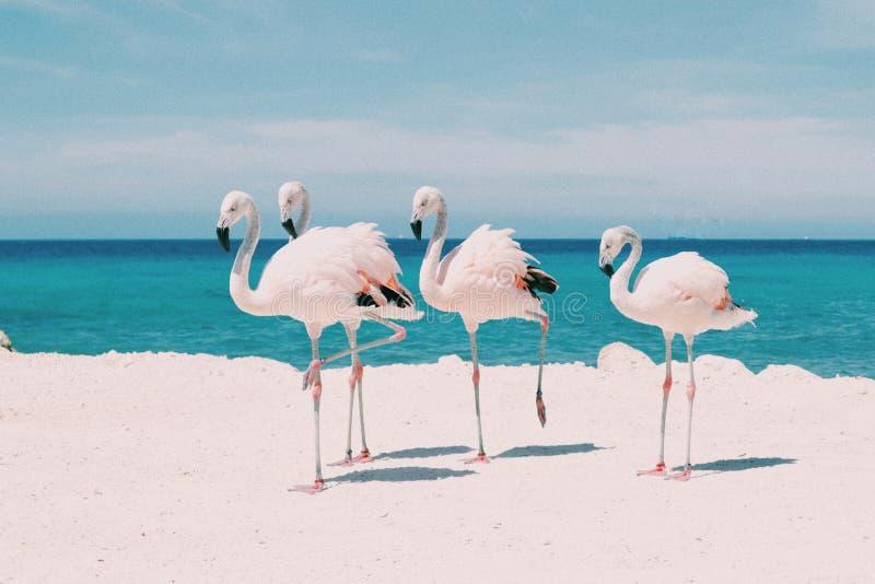 Flamingo's in de Cara?ben royalty-vrije stock fotografie