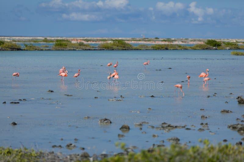Flamingo's in de zoute vlakten in Bonaire stock afbeeldingen