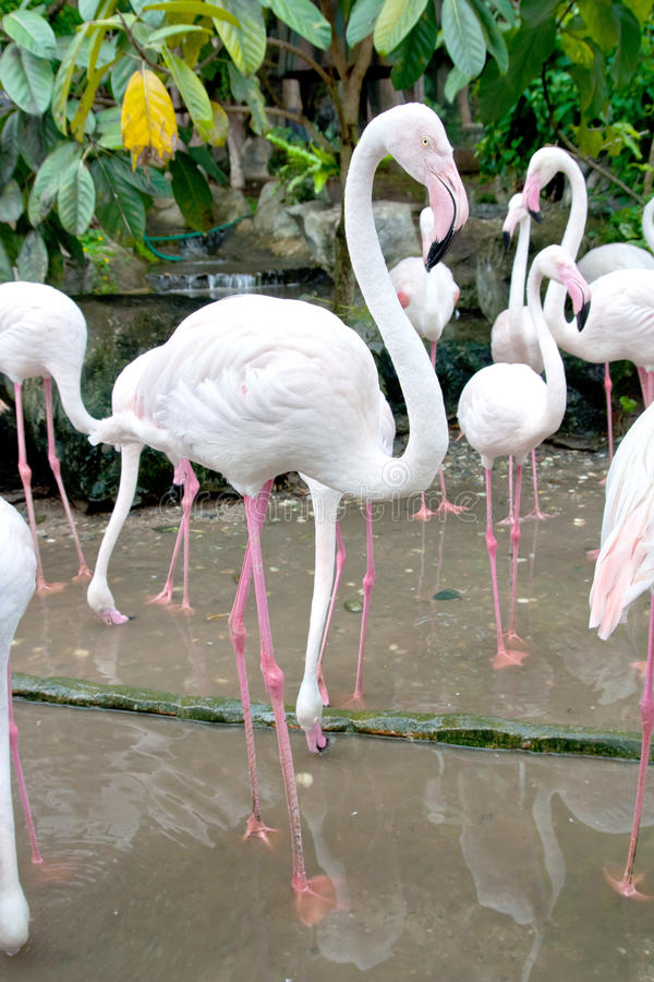 Flamingo's in dierentuin royalty-vrije stock foto