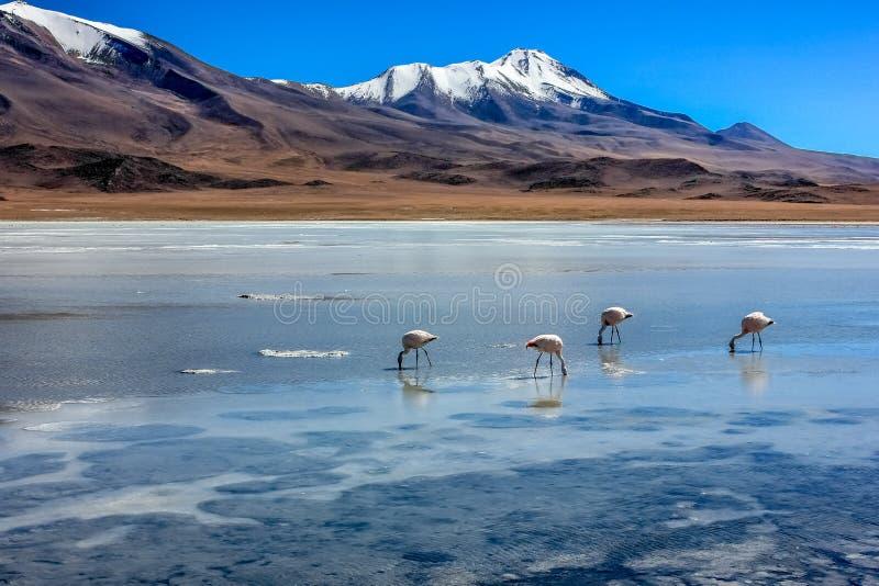Flamingo's in een lagune Altiplano Bolivië stock afbeelding