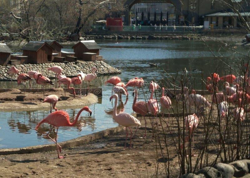 Flamingo's met lange benen in de dierentuin stock foto