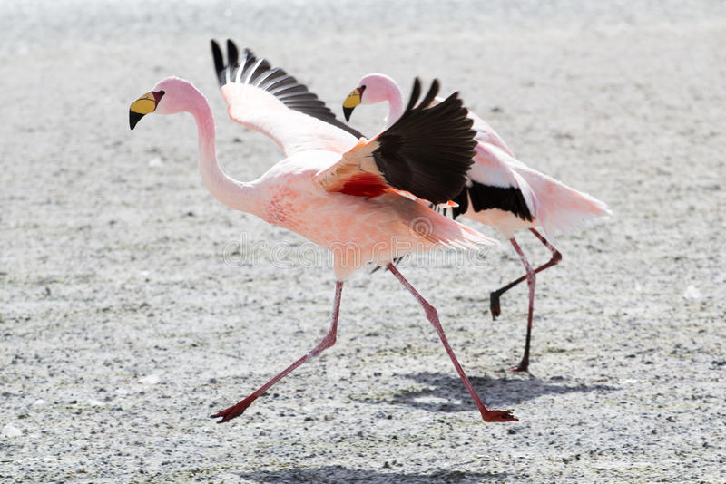 Flamingo's op meer in de Andes, het zuidelijke deel van Bolivië royalty-vrije stock fotografie