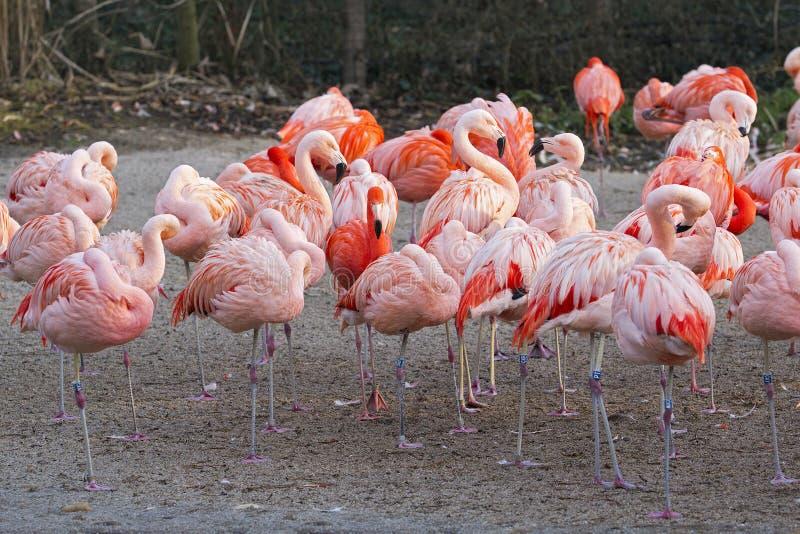 Flamingo's - Phoenicopterus-roseus stock fotografie