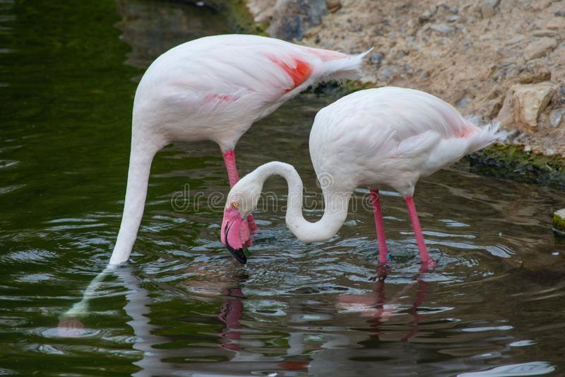 A flamingo searches for food at sunset in Al Ain, United Arab Emirates UAE Phoenicopterus roseus.  stock photo