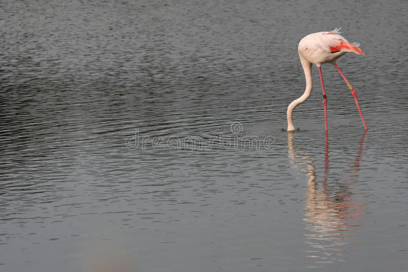 Download Flamingo searching food stock photo. Image of south, pink - 27472034