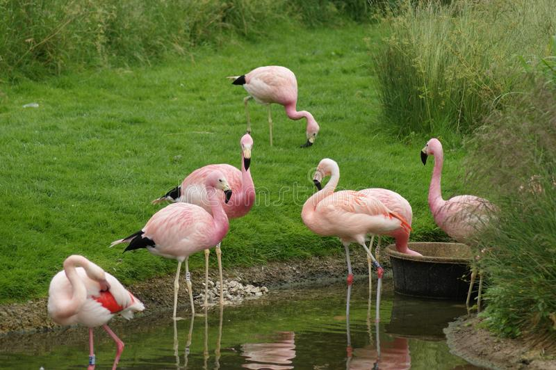 Flamingo som har en drink arkivbilder
