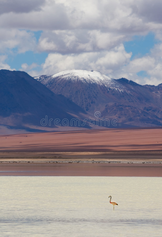 Flamingo som plattforer i laken, bolivia arkivfoto
