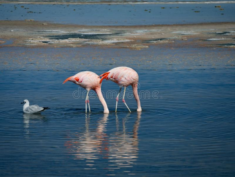 Flamingo in Spaanse peper stock foto's