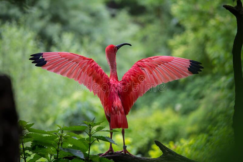 Flamingo Spreading Its Wings royalty free stock images