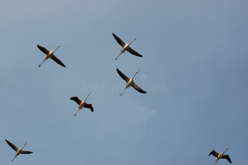 flamingo stada zdjęcie royalty free