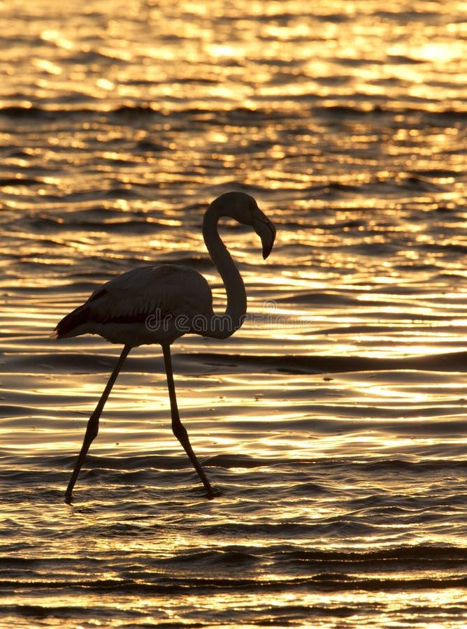 Greater Flamingo at sunset - Namibia royalty free stock photos