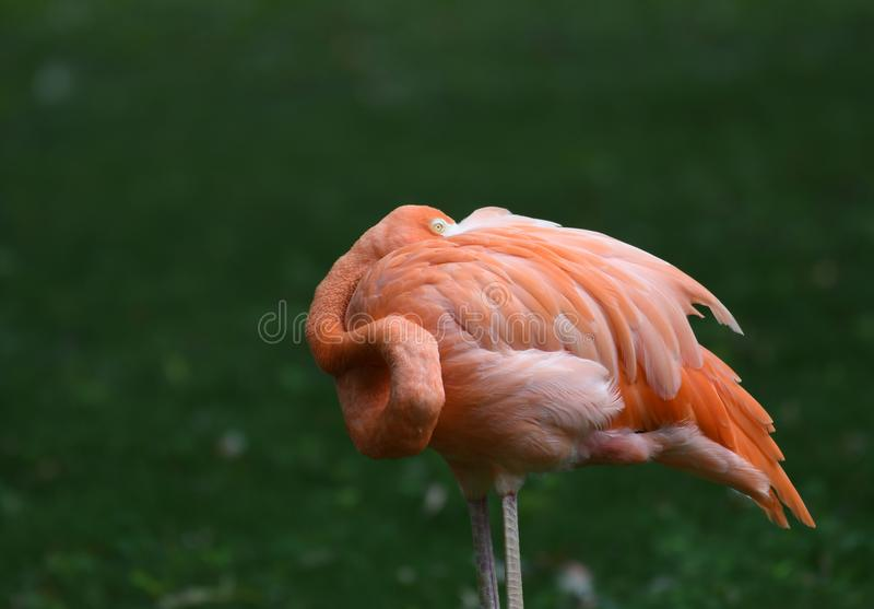 Flamingo taking a nap in the mid day Sun stock photos