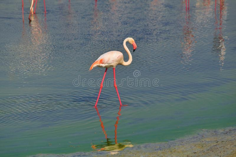 Flamingo with thin pink legs reflected in lake water. Flamingo with thin pink V legs reflected in lake water and elegant S shape white feather neck and red pink royalty free stock photo