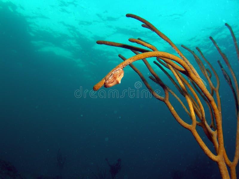 Flamingo Tongue on Sea Rod royalty free stock photography
