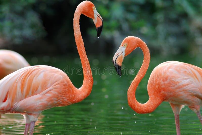 Flamingo twee stock foto's