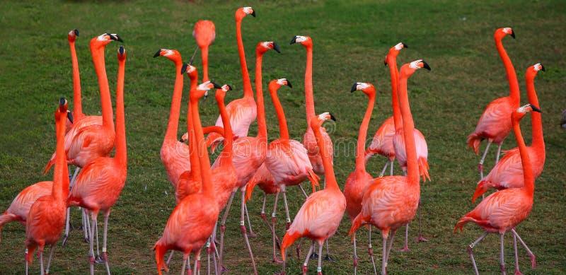 Flamingo vermelho de dança imagem de stock royalty free