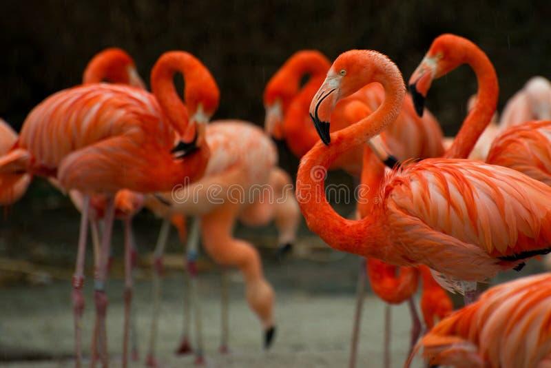 Flamingo vermelho no grupo de flamingos imagens de stock