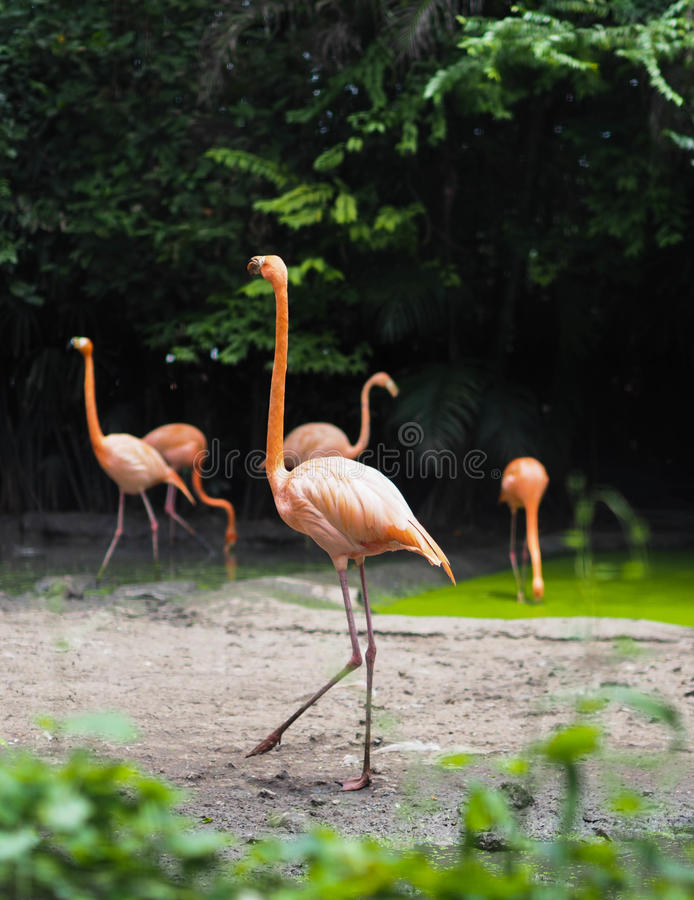 A flamingo is walking royalty free stock images