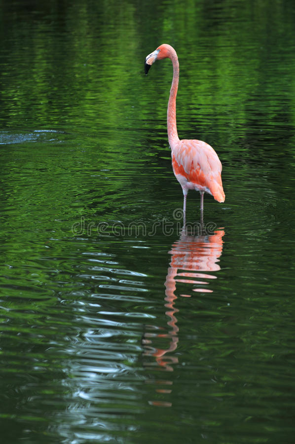 Download Flamingo In the Water stock photo. Image of feathers, exotic - 9837324
