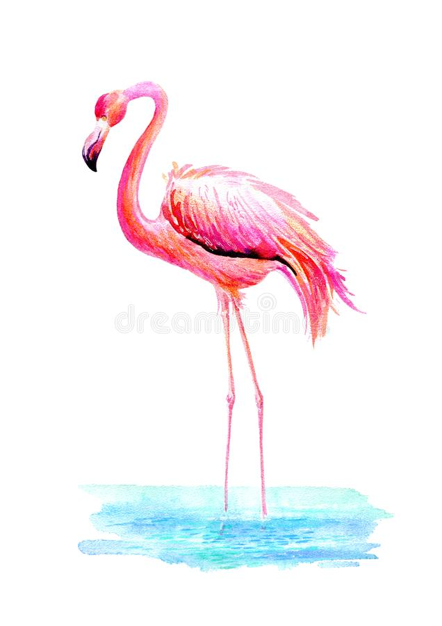 Flamingo in water.Exotic bird on a white background. Watercolor hand drawn illustration royalty free illustration