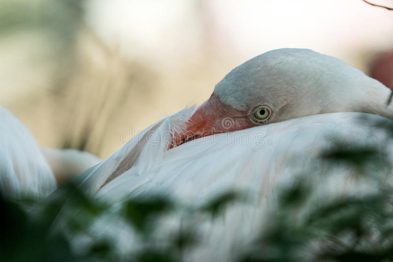 Flamingoauges stockfoto