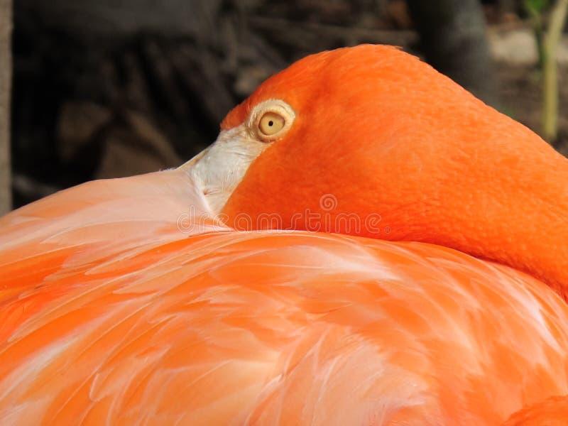 FlamingoBahamas photo stock
