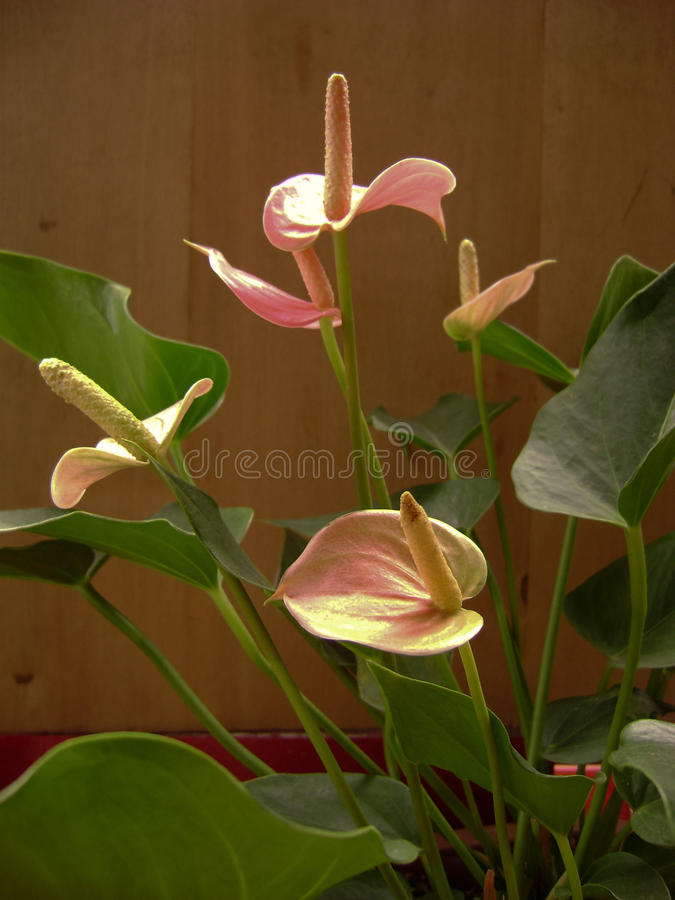 Flamingobloemen royalty-vrije stock fotografie