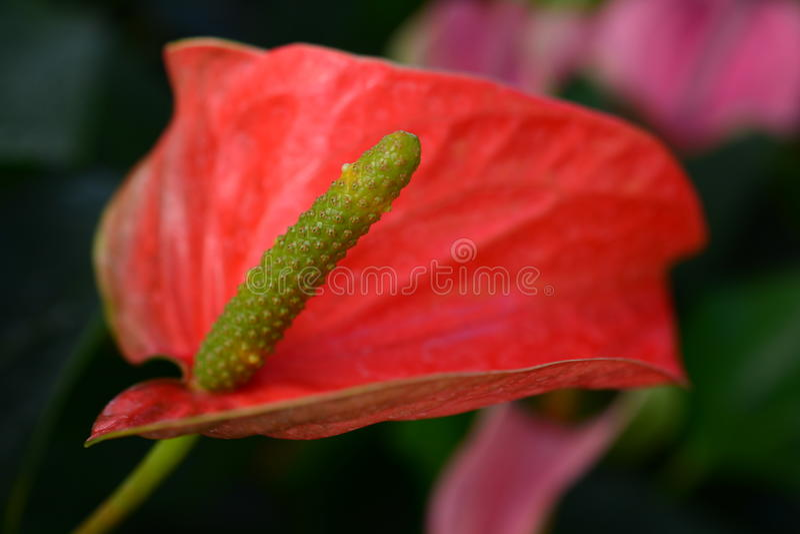 Flamingoblume oder Blütenschweifblume lizenzfreie stockfotos