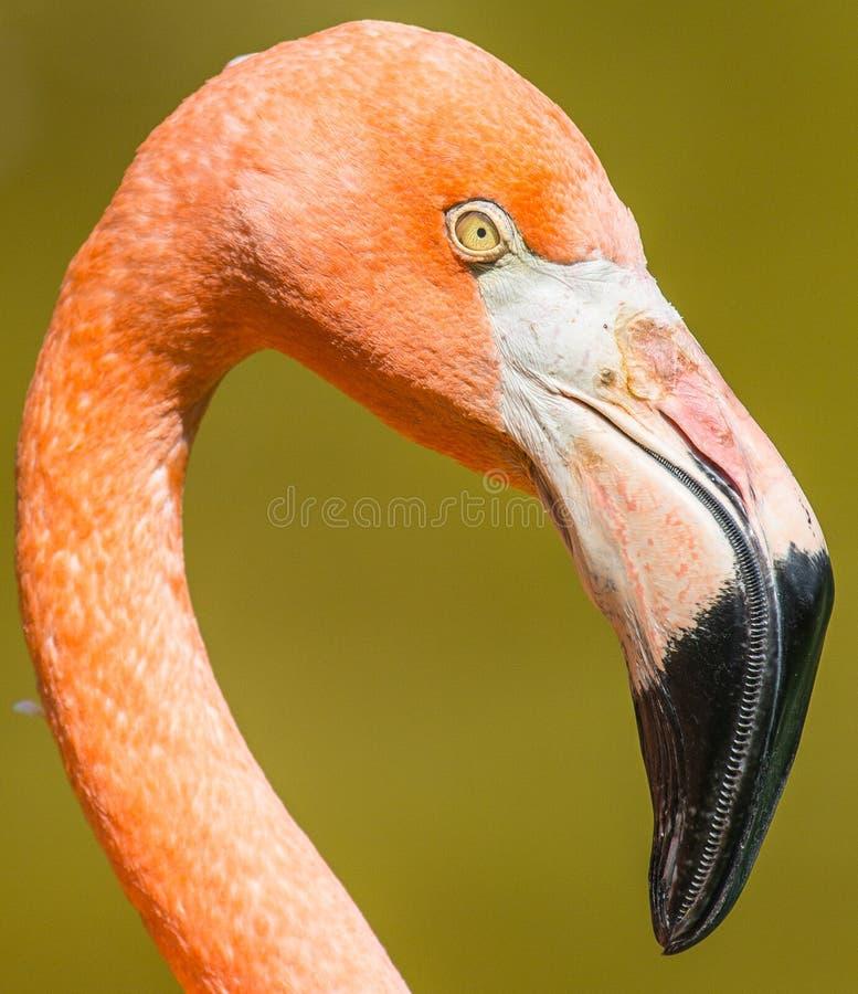 Flamingocloseup royaltyfri bild