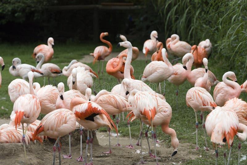 Flamingodachboden in der Natur lizenzfreie stockbilder