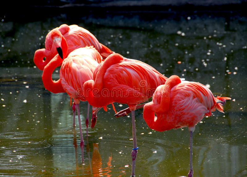 Download Flamingoes stock photo. Image of bright, water, several - 1621946