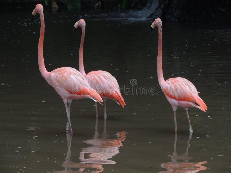 Flamingoes royalty-vrije stock fotografie