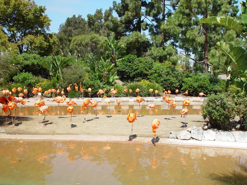 Flamingoes Around The Pond Free Stock Images