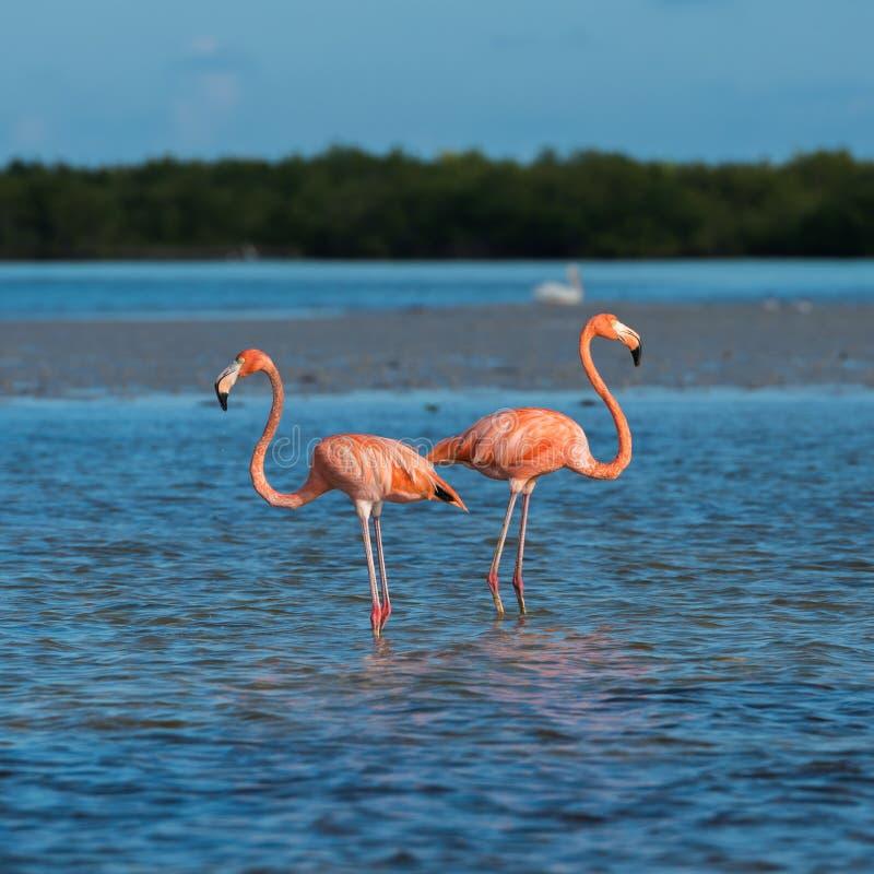 Free Flamingoes At Rio Lagartos Biosphere Reserve, Yucatan, Mexico Royalty Free Stock Image - 84824066