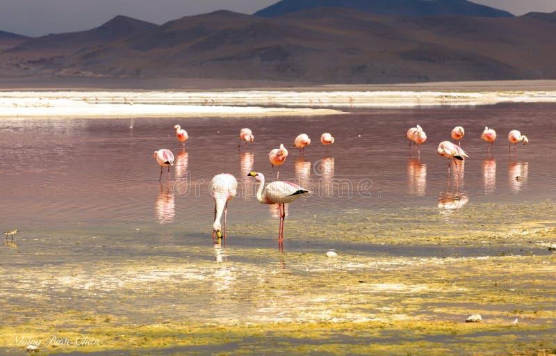 FLAMINGOES BIJ RODE LAGUNE, BOLIVIË stock afbeeldingen