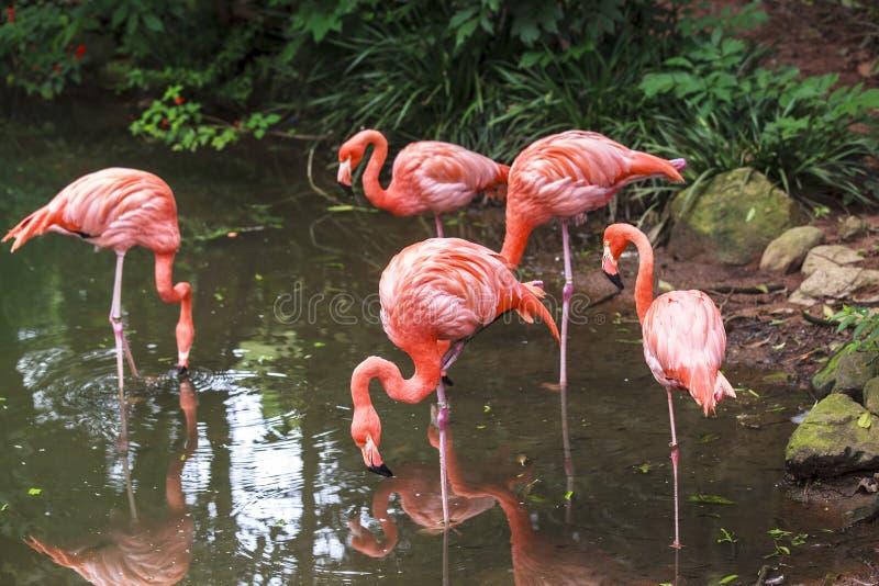 Flamingoes in Dierentuin van Sao Paulo, Brazilië stock fotografie