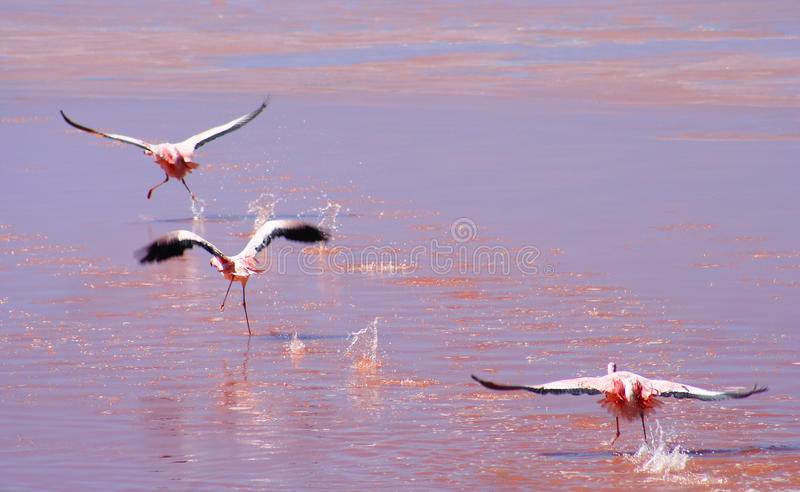 Three Flamingoes flying stock images