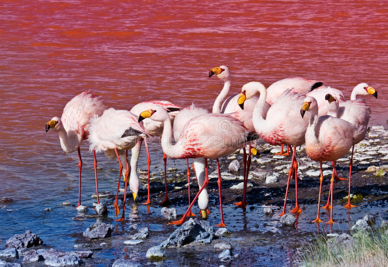 Flamingoes in Laguna Colorada, Bolivië stock afbeeldingen