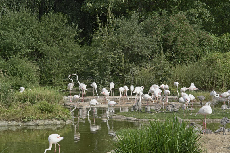 Flamingoes in sunny waterside ambiance. Group of flamingoes in sunny waterside ambiance royalty free stock image