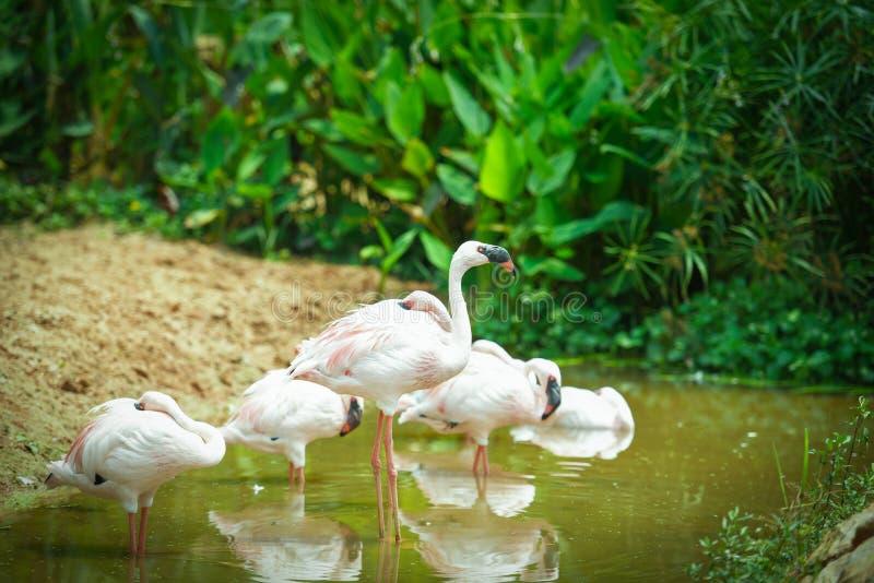 Flamingofågel på tropiska djur för sjöflodnatur - större flamingo fotografering för bildbyråer