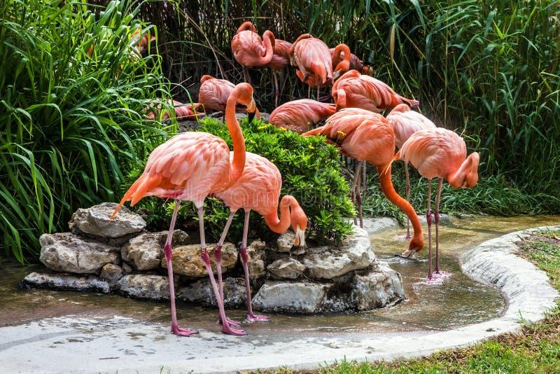 Flamingofamilj i den Lissabon zoo, Portugal arkivfoton