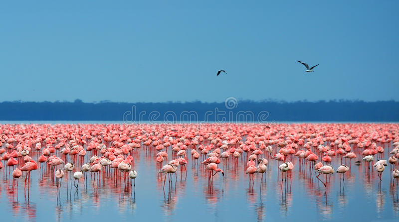 flamingoflockar arkivfoton