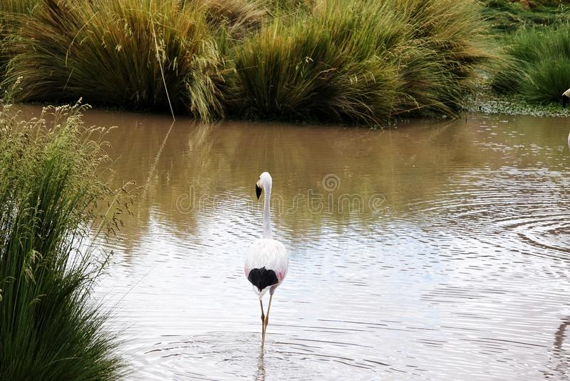 Flamingojahreszeit in Uyuni, Bolivien stockbild