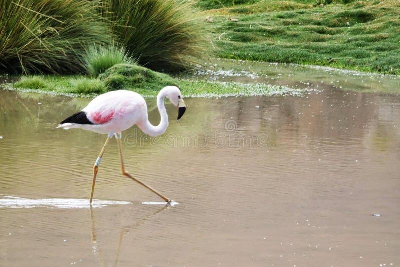 Flamingojahreszeit in Uyuni, Bolivien lizenzfreie stockfotos