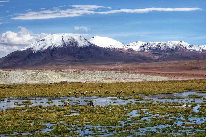Flamingojahreszeit in Uyuni, Bolivien stockbilder