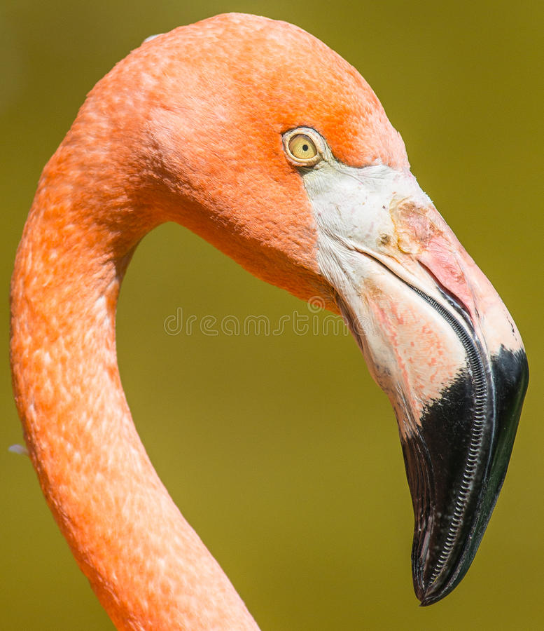 Flamingonahaufnahme lizenzfreies stockbild