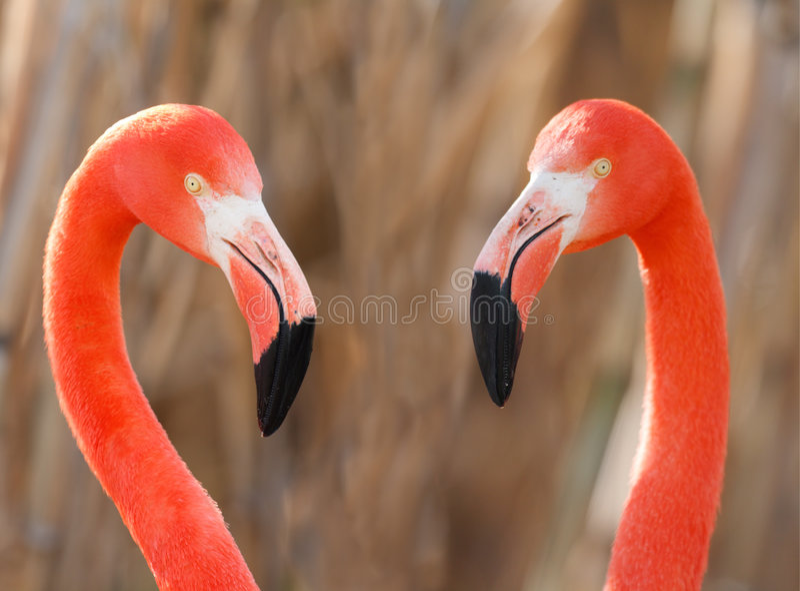 Flamingopaare stockfotos