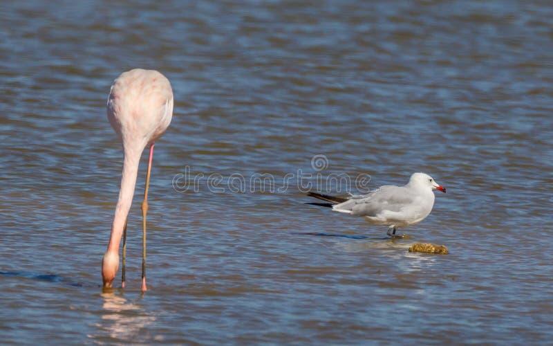 FlamingoPhoenicopterus roseus royaltyfria bilder