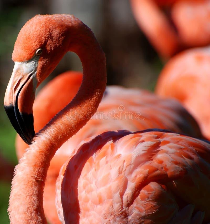flamingopink royaltyfria foton